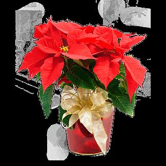 poinsettia plant with ribbon bow