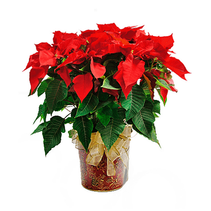 poinsettia plant in paisley container with ribbon bow