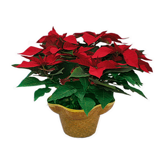Christmas flower arrangement with poinsettia plant in a hat basket